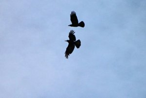 Crows on the Wing